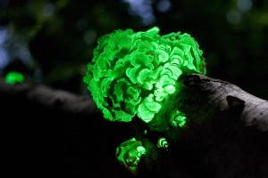 Světélkující houby